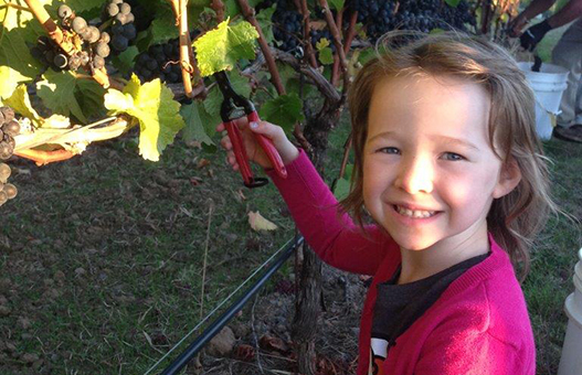 Meader Family Pinot Noir Harvest