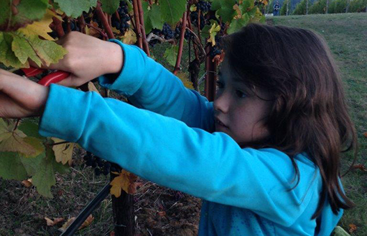 Meader Family Estate Vineyard Harvest