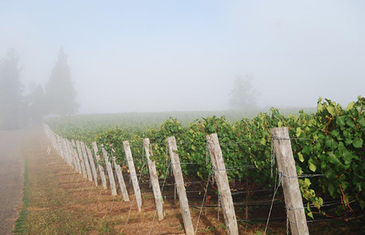 Eminent Domaine Estate Vineyard | Pinot Noir